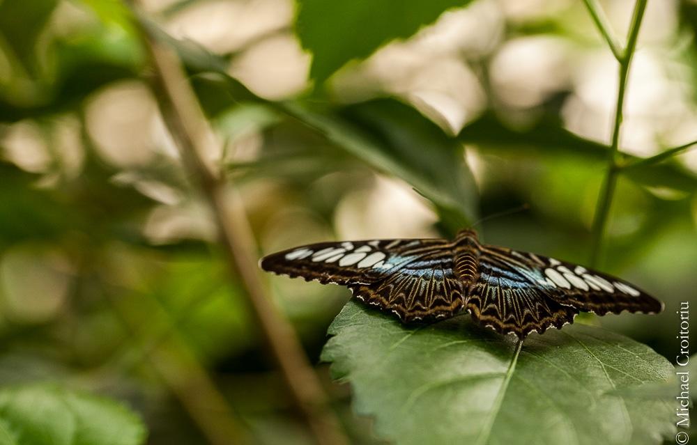 papillonnage